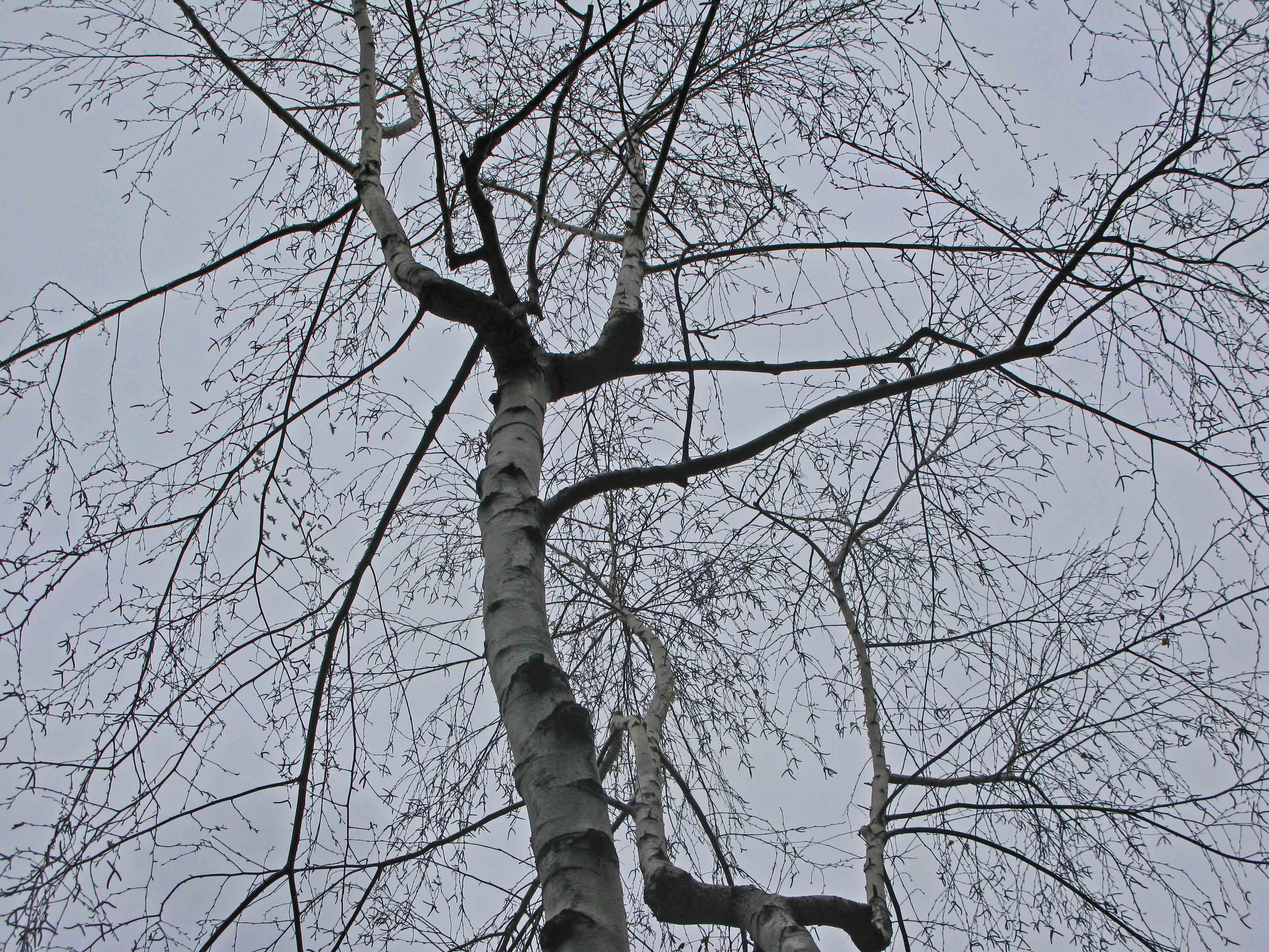 a white birch in december the washington heights winter garden