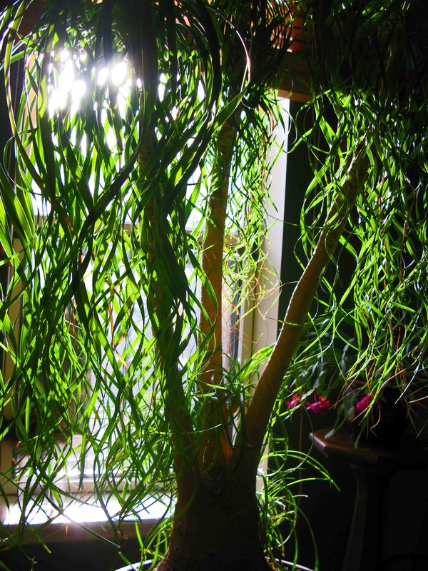 The ponytail palm report matthew gallaway for Ponytail palm cats